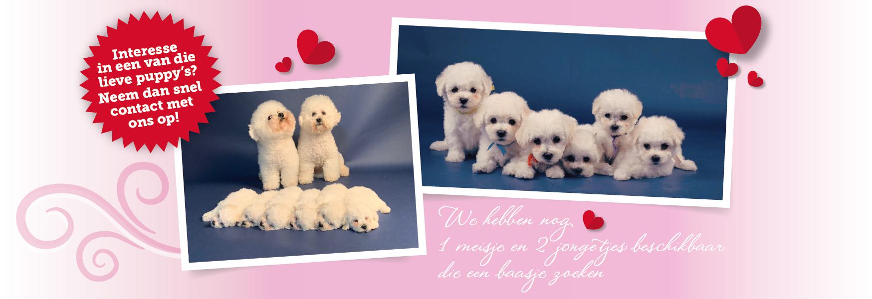 Bichonfrise-slider-pups-28-07-2021_Tekengebied 1